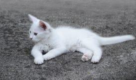 Άσπρο γατάκι Στοκ Φωτογραφία