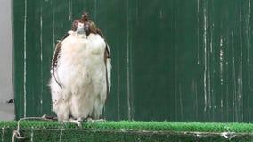 Άσπρο γεράκι σε Souq απόθεμα βίντεο
