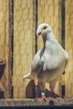 Άσπρο γερμανικό περιστέρι Ομήρου ομορφιάς Στοκ εικόνες με δικαίωμα ελεύθερης χρήσης