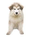 Άσπρο γεροδεμένο κουτάβι σκυλιών, κουτάβι που απομονώνεται πέρα από το άσπρο υπόβαθρο, τουαλέτα Στοκ Εικόνα