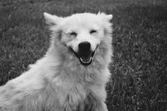 Άσπρο γούνινο χαμόγελο σκυλιών Στοκ Εικόνες
