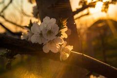 Άσπρο δέντρο ανθών στην άνθιση στοκ εικόνα