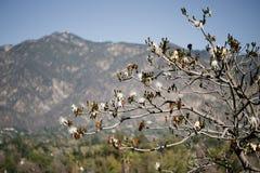Άσπρο δέντρο μεταξιού νήματος με τα βουνά στο υπόβαθρο στοκ φωτογραφία με δικαίωμα ελεύθερης χρήσης
