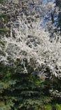 Άσπρο δέντρο Στοκ φωτογραφία με δικαίωμα ελεύθερης χρήσης