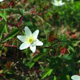 Άσπρο δασικό λουλούδι σε ένα υπόβαθρο των πράσινων φύλλων στοκ φωτογραφίες με δικαίωμα ελεύθερης χρήσης