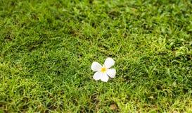 Άσπρο ενιαίο λουλούδι Plumeria στην πράσινη χλόη για το διαστημικό κείμενο, υπόβαθρο Στοκ φωτογραφία με δικαίωμα ελεύθερης χρήσης