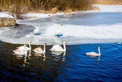 Άσπρο επιπλέον σώμα κύκνων κατά μήκος του ice-free νερού ποταμού σε έναν σαφή χειμώνα δ στοκ εικόνα