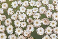 Άσπρο επιπλέον σώμα λουλουδιών στο aqua Στοκ φωτογραφίες με δικαίωμα ελεύθερης χρήσης