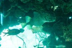 Άσπρο επισημασμένο hispidus Arothron ψαριών καπνιστών υποβρύχιο στη Ερυθρά Θάλασσα Στοκ Φωτογραφίες