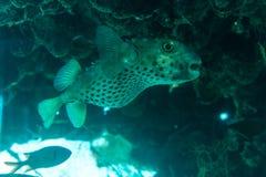 Άσπρο επισημασμένο hispidus Arothron ψαριών καπνιστών υποβρύχιο στη Ερυθρά Θάλασσα Στοκ φωτογραφίες με δικαίωμα ελεύθερης χρήσης