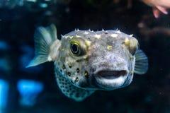 Άσπρο επισημασμένο hispidus Arothron ψαριών καπνιστών υποβρύχιο στη Ερυθρά Θάλασσα Στοκ φωτογραφία με δικαίωμα ελεύθερης χρήσης