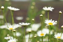 Άσπρο ελατήριο λιβαδιών λουλουδιών μαργαριτών Στοκ εικόνα με δικαίωμα ελεύθερης χρήσης