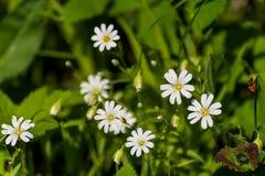 Άσπρο ελατήριο λιβαδιών λουλουδιών Στοκ Εικόνα