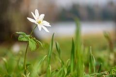 Άσπρο ελατήριο λουλουδιών Anemone Στοκ εικόνα με δικαίωμα ελεύθερης χρήσης