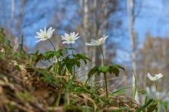 Άσπρο ελατήριο λουλουδιών Anemone Στοκ φωτογραφία με δικαίωμα ελεύθερης χρήσης