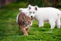 Άσπρο ελβετικό κουτάβι ποιμένων που εναπόκειται στο λιοντάρι στοκ φωτογραφία