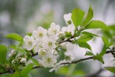 Άσπρο ηχηρό κορόμηλο λουλουδιών Στοκ Φωτογραφίες