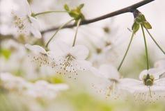 Άσπρο ηχηρό κορόμηλο λουλουδιών Στοκ φωτογραφία με δικαίωμα ελεύθερης χρήσης