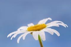Άσπρο θερινό λουλούδι Στοκ Εικόνες