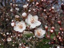 Άσπρο ιαπωνικό κεράσι λουλουδιών στοκ φωτογραφία με δικαίωμα ελεύθερης χρήσης