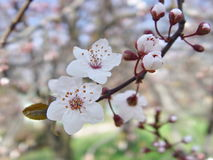 Άσπρο ιαπωνικό κεράσι λουλουδιών Στοκ εικόνες με δικαίωμα ελεύθερης χρήσης