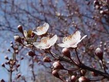 Άσπρο ιαπωνικό κεράσι λουλουδιών στοκ εικόνες