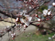 Άσπρο ιαπωνικό κεράσι λουλουδιών στοκ φωτογραφία