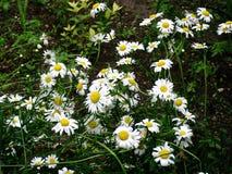 Άσπρο λιβάδι λουλουδιών Chamomiles Στοκ Εικόνες