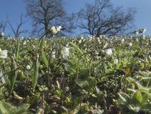Άσπρο λιβάδι wildflowers την άνοιξη Στοκ φωτογραφία με δικαίωμα ελεύθερης χρήσης