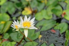 Άσπρο ιερό Lotus στοκ εικόνα με δικαίωμα ελεύθερης χρήσης