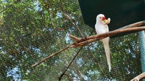 Άσπρο ινδικό δαχτυλίδι-necked Parakeet απόθεμα βίντεο