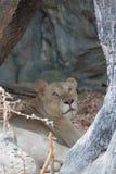 Άσπρο λιοντάρι στο δέντρο κοίλο στο ζωολογικό κήπο Στοκ εικόνα με δικαίωμα ελεύθερης χρήσης