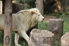 Άσπρο λιοντάρι στο ζωολογικό κήπο Στοκ Εικόνα
