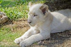 Άσπρο λιοντάρι στοκ εικόνες