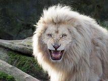 Άσπρο λιοντάρι Στοκ εικόνα με δικαίωμα ελεύθερης χρήσης