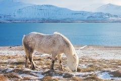 Άσπρο ισλανδικό άλογο Το ισλανδικό άλογο είναι μια φυλή του αλόγου που αναπτύσσεται στην Ισλανδία Μια ομάδα ισλανδικών πόνι στο λ στοκ εικόνα