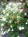 Άσπρο κάρδαμο λουλουδιών Στοκ Εικόνες