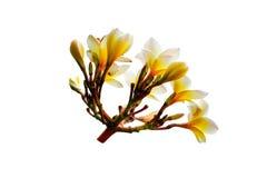 Άσπρο κίτρινο λουλούδι plumeria που απομονώνεται στο άσπρο υπόβαθρο Στοκ Φωτογραφία