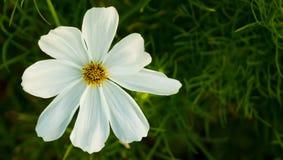 Άσπρο κίτρινο λουλούδι στον κήπο Στοκ Εικόνες