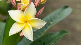 Άσπρο κίτρινο λουλούδι Plumelia Στοκ εικόνα με δικαίωμα ελεύθερης χρήσης