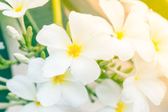 Άσπρο κίτρινο Plumeria, λουλούδια frangipani, Frangipani, Στοκ Εικόνες