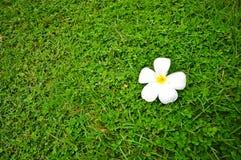 Άσπρο κίτρινο Plumeria τοπίο φύσης κήπων στο τόσο όμορφο μέσα Στοκ φωτογραφία με δικαίωμα ελεύθερης χρήσης