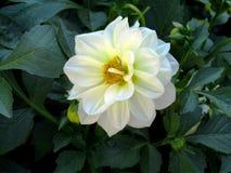 Άσπρο καθαρό και φωτεινό λουλούδι Στοκ Φωτογραφίες