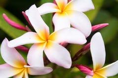 Άσπρο καθαρό τροπικό ασιατικό λουλούδι frangipani Στοκ Φωτογραφίες