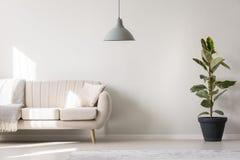 Άσπρο καθιστικό με το ficus Στοκ Φωτογραφία