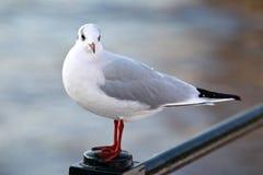 Άσπρο και γκρίζο αστικό περιστέρι Στοκ φωτογραφίες με δικαίωμα ελεύθερης χρήσης