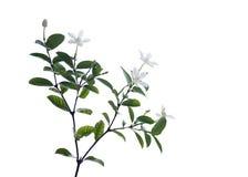 Άσπρο και ευώδες λουλούδι Στοκ φωτογραφίες με δικαίωμα ελεύθερης χρήσης