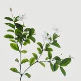 Άσπρο και ευώδες λουλούδι Στοκ φωτογραφία με δικαίωμα ελεύθερης χρήσης
