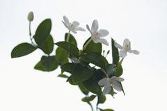 Άσπρο και ευώδες λουλούδι Στοκ εικόνες με δικαίωμα ελεύθερης χρήσης