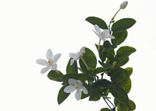 Άσπρο και ευώδες λουλούδι Στοκ Εικόνες